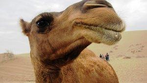 camel_11252017.jpg