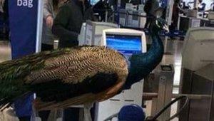 peacock_020218.jpg