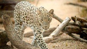 leopard_101418.jpg