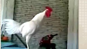 rooster_101418.jpg