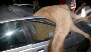 camel_020119.jpg