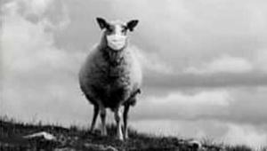 sheep_031320.jpg