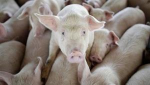 swine_062920.jpg